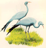 National bird of south africa