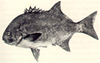 National fish of south africa